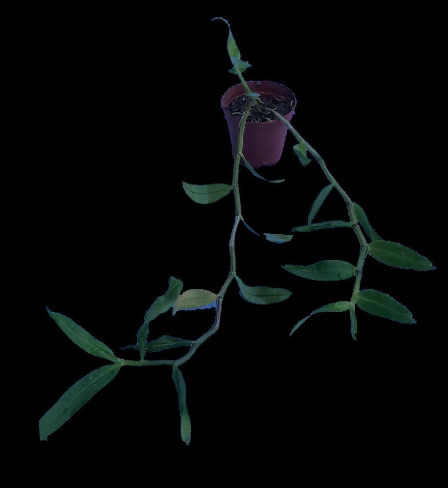 Dendrobium tosaense alba